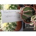 Euphorbia suzannae x euphobia