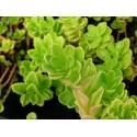 Succulent BLONDA_CE_K