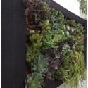 Planta crasa Succulent YUTE