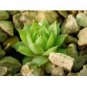 Sempervivum arachnoideum x calcareum