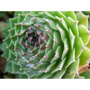 Sempervivum cantabricum...