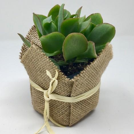 Succulent Rafia (Planta suculenta +...