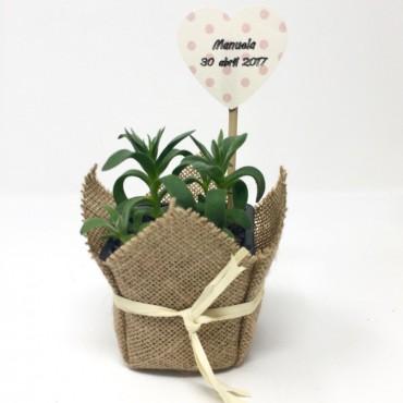 Succulent Rafia ES (Planta...