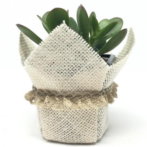Succulent BLONDA (Planta crasa + BLONDA)