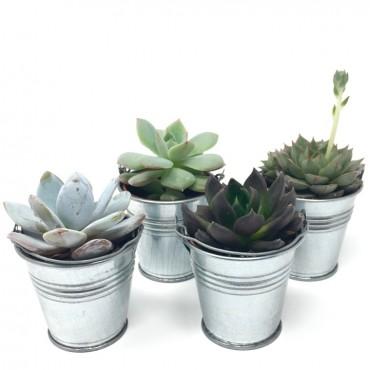 Succulent ZINC (Planta...
