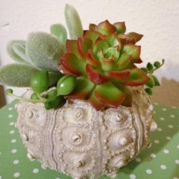 Succulent Mar (Plantas...