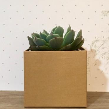 Succulent KRAFT (Planta...