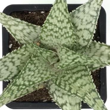 Aloe bronce lizards