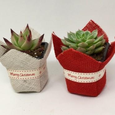 "Succulent ""Merry Christmas"""