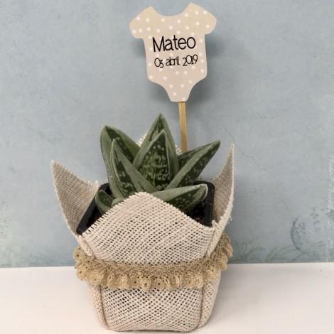 Succulent BLONDA ES (Planta suculenta...