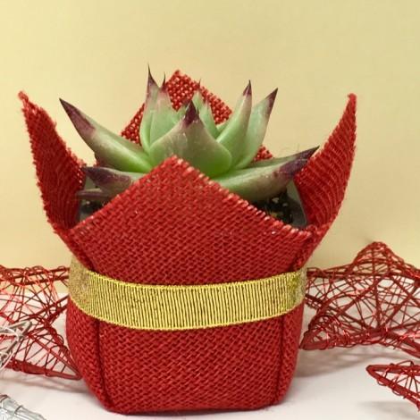 Succulent ORO (Planta Suculenta + ORO)