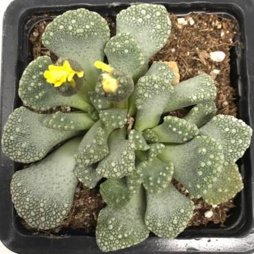 Titanopsis calcárea