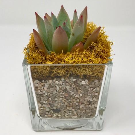 Succulent CRYSTAL (Planta Suculenta +...