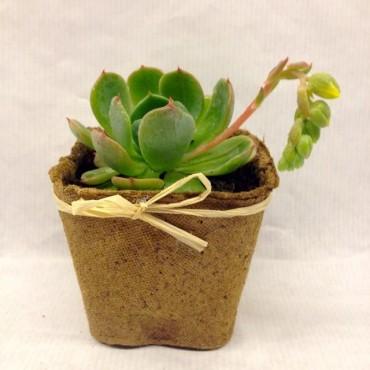 Euphorbia aggregata