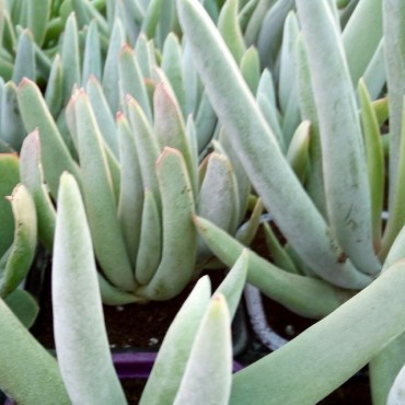 Cotyledon grey sticks