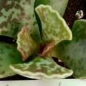Succulent BASIC PIC