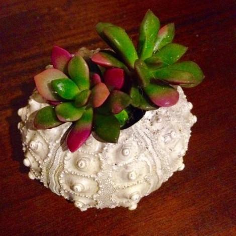 Succulent Mar (Plantas suculentas +...