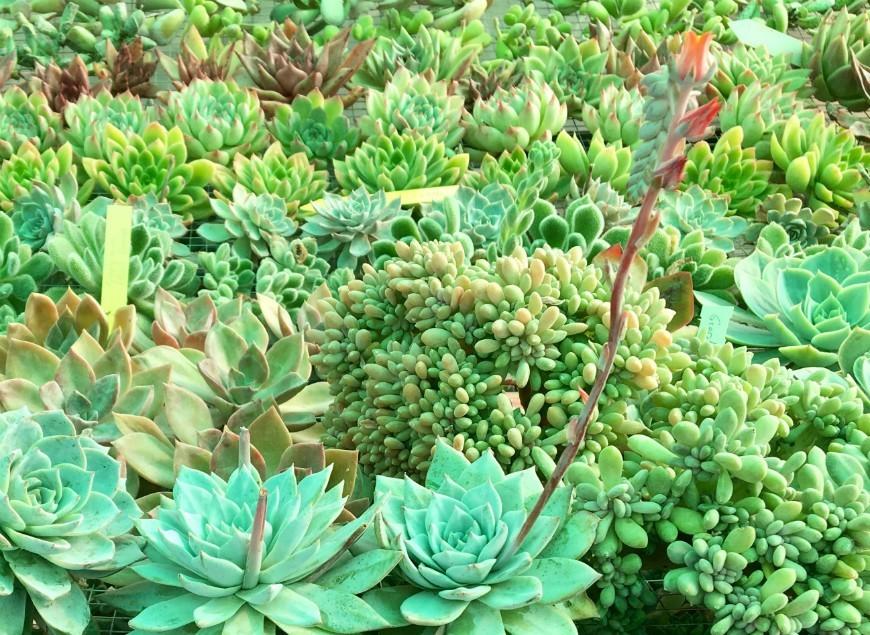 Características de las plantas suculentas